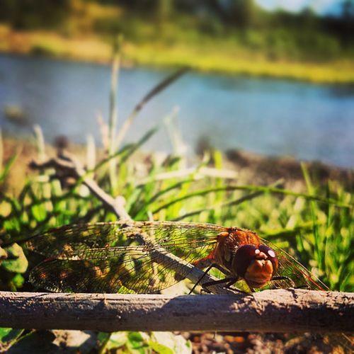 Dragonfly 2 . Insta_photo Insta_photography Ireland dragonfly photography picoftheday nature icu_ni inspireland insta_ireland
