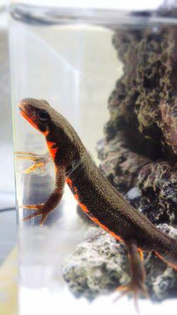Shedding Skin Newt アカハライモリ Japanese Fire Belly Newt 両生類 Amphibian Close-up