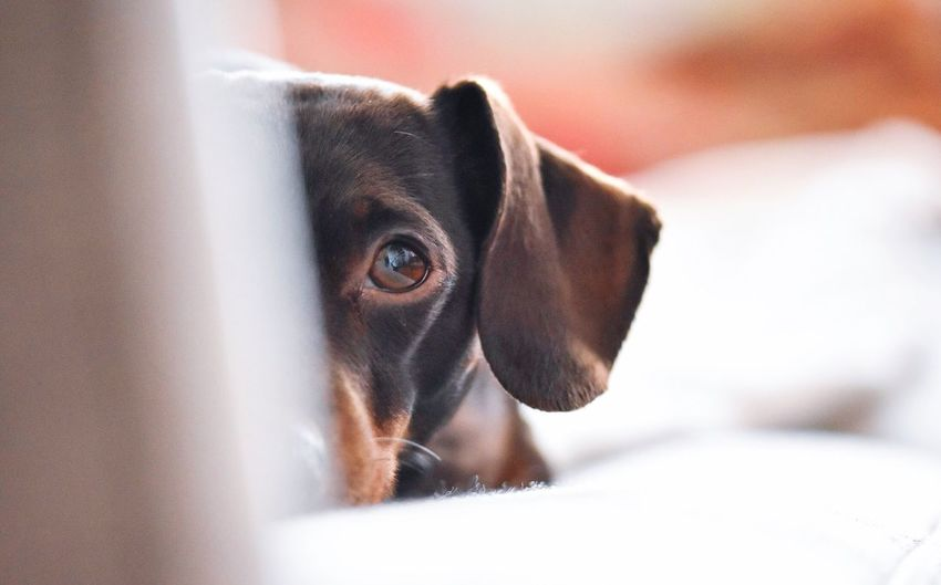 Watching Pets Domestic Animals One Animal Mammal Animal Themes Close-up Indoors  No People Brown Eyes Dogs Daschund Dogs Of EyeEm Cute Dog  Cute Pets Sausagedog Pet Photography  Dachshund Portrait Looking At Camera