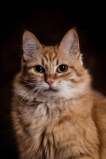 Animal Hair Animal Themes Black Background Close-up Cute Day Domestic Animals Domestic Cat Feline Friendship Indoors  Kitten Looking At Camera Mammal No People One Animal Persian Cat  Pets Portrait Sitting Studio Shot Whisker