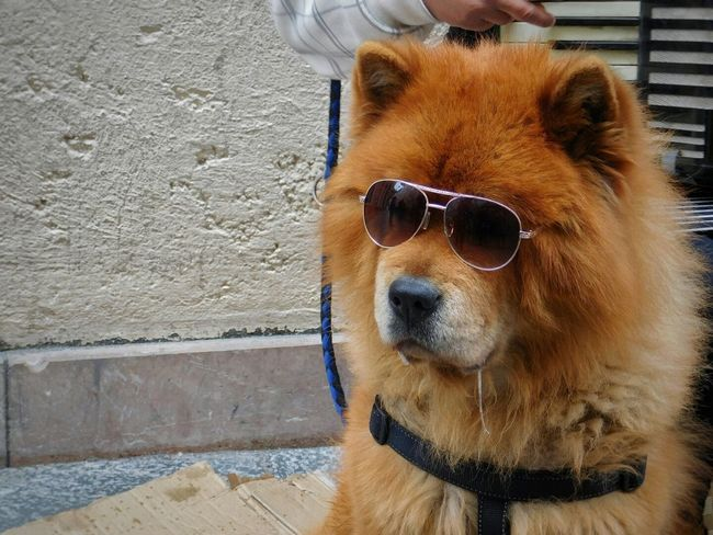 Dog Sunglasses Pets One Animal Domestic Animals Mammal Animal Themes Brown Animal Portrait Looking At Camera Cute Outdoors Puppy Day No People Close-up