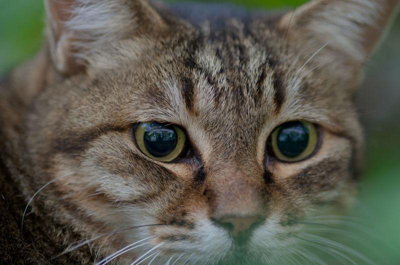 beautiful eyes, I am so hooked! Animal Eye Animal Head  Animal Themes Cat Cat Face Cute Cat Looking At Camera Mammal One Animal