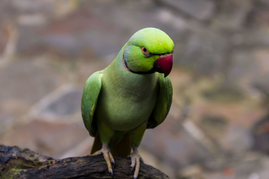 Animal Themes Animal Wildlife Animals In The Wild Bird Close-up Day Focus On Foreground Green Color Nature No People One Animal Outdoors Parrot Perching