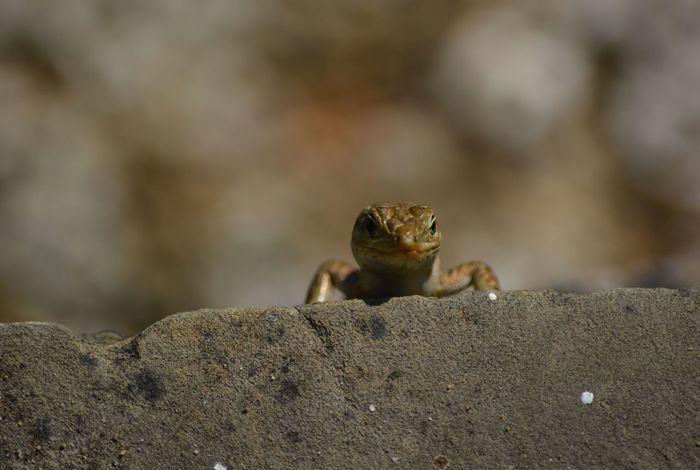 Eidechse Stein Close-up Lizard Smile Lächeln