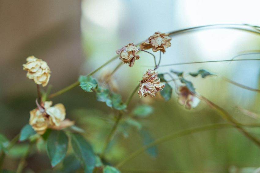 Dried not dead color Plant Close-up Beauty In Nature Flower Flowering Plant Nature Growth Day Outdoors Fragility