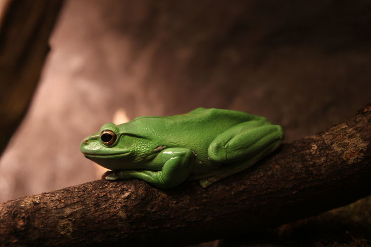 Close-up of green lizard
