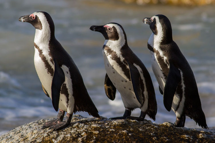 Penguins on rock by sea