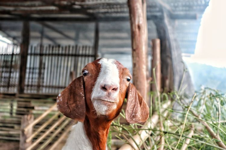 Close-up portrait of goat in stable