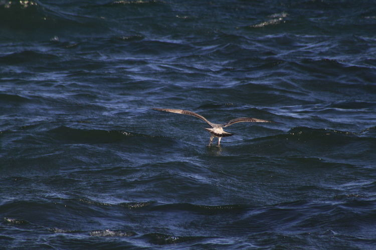 Bird With Prey Flying Over Sea