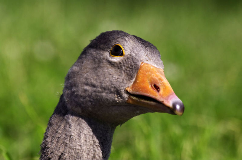 Animal Body Part Animal Head  Avian Beak Beauty In Nature Bird Close-up Day Focus On Foreground Greylag Goose Looking Nature No People Outdoors Selective Focus Wildlife Colour Of Life