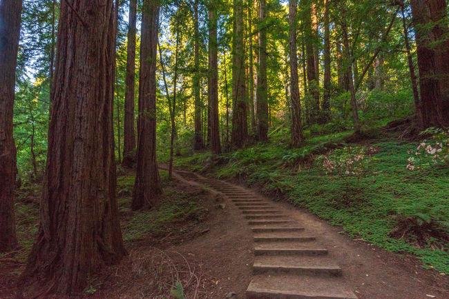 Redwoods Forest Land Plant Tree Direction Tree Trunk Trunk WoodLand Nature The Way Forward Wood - Material Beauty In Nature Tranquility Non-urban Scene No People Growth Scenics - Nature Footpath Wood Tranquil Scene