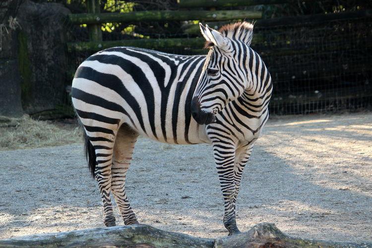 Animal Animal Themes Animal Wildlife Striped Mammal Animals In The Wild Zebra One Animal Vertebrate Nature Standing Herbivorous Day No People Domestic Animals Zoo Animal Markings Sunlight Outdoors