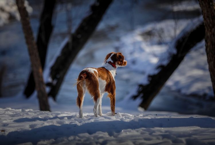Brittany Spaniel Snow Animal Themes Animal One Animal Winter Cold Temperature Mammal Dog Canine Nature Sunlight Domestic Animals Pets Day Outdoors