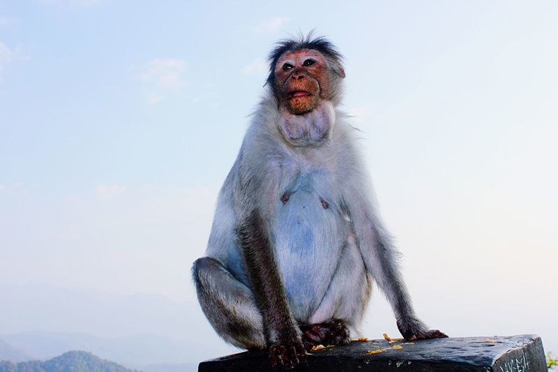 Wayanad View Point On The Bridge Like A Boss Monkey Wildlife Animal Photography Nature Friendly Freedom Proud Telling Stories Differently Jeemals Animal Head  Animal Body Part The Essence Of Summer Monkeys Animals Animal Themes Animals In The Wild Animal Wildlife & Nature Wild Wild Animal The OO Mission Fine Art Photography