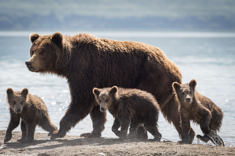 Grizzly bears with family walking at lakeshore during sunny day