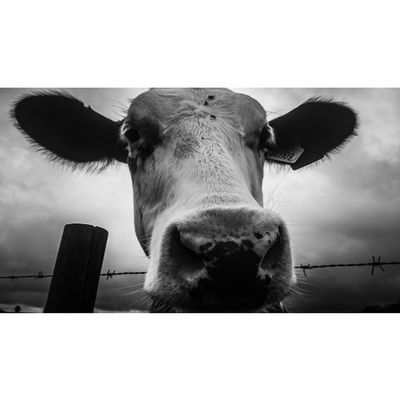 Curious cow... Animalsofinstagram Cows Animalpolis Naturemente Bnw_nature Bnw_diamond Bnw_society Bw_nature Capturingbritain_rural Capturingbritain_bnw Nexus_nation Rsa_nature_bnw Rsa_nature Ukpotd Icu_britain_bw Allwhatsbeautiful_bnw Bnw_world Fiftyshades_of_nature 80sixd Gloomgrabber Ukpotd_07 Bw_divine