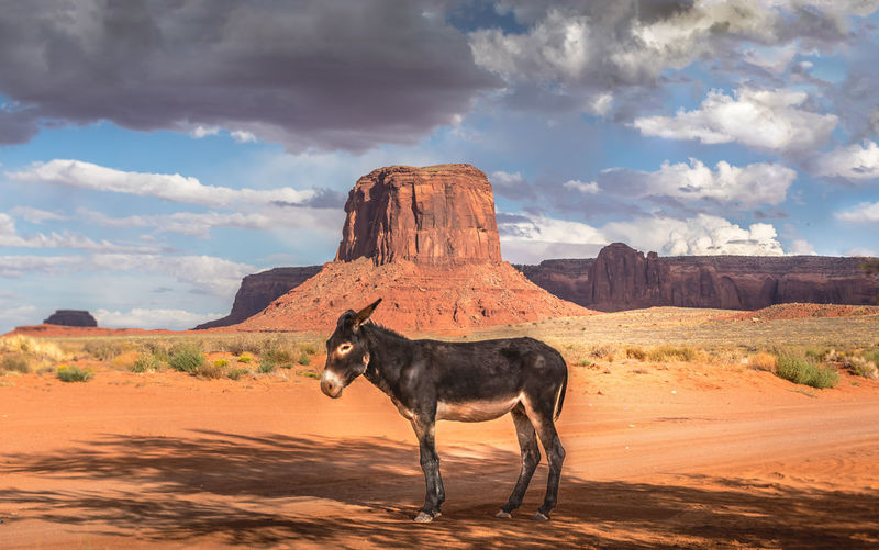 Wild burro with scenic monument valley background