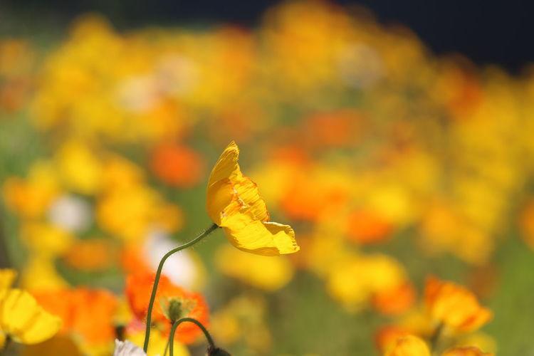 Poppy Autumn