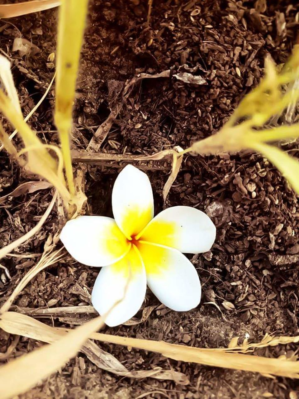 flower, high angle view, fragility, nature, flower head, petal, beauty in nature, field, no people, outdoors, day, freshness, close-up, growth, frangipani, blooming