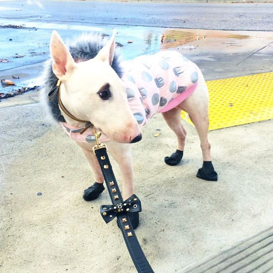Bull Terrier Bullterrier Coat Cold Dog Dog Fashion Domestic Animals Fashion Front View Gold Lead Leash Mammal Parka Pets Pink Polkadots Puppy Winter