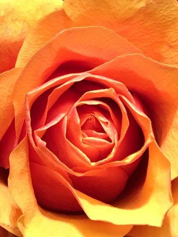 Orange Rose Rosé Flower Beauty In Nature Flowering Plant Rose - Flower Petal Plant Vulnerability  Fragility Inflorescence Close-up Full Frame Flower Head Backgrounds Nature Orange Color Growth Freshness