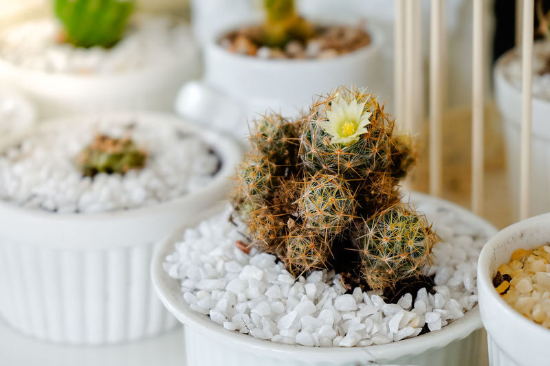 Cactus planted on white bowl decorates in cafe and coffee shop. Close-up Container Focus On Foreground Food Food And Drink Freshness Growth Healthcare And Medicine High Angle View Indoors  Indulgence Nature No People Plant Potted Plant Selective Focus Still Life Table Temptation Tray Wellbeing White Color