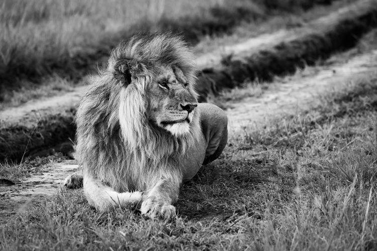 Lion sitting in a field