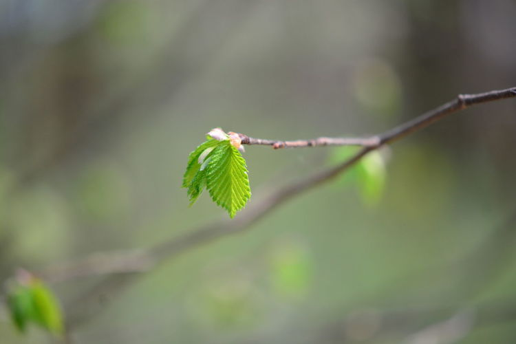 Plant Leaf Plant Part Green Color Focus On Foreground Beauty In Nature Growth Close-up Nature No People Day Selective Focus Twig Fragility Outdoors Vulnerability  Plant Stem Beginnings Tree Branch