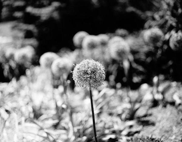 Flower. Flower PENTAX67 Mediumformat Film Macomb Fineart Bokeh