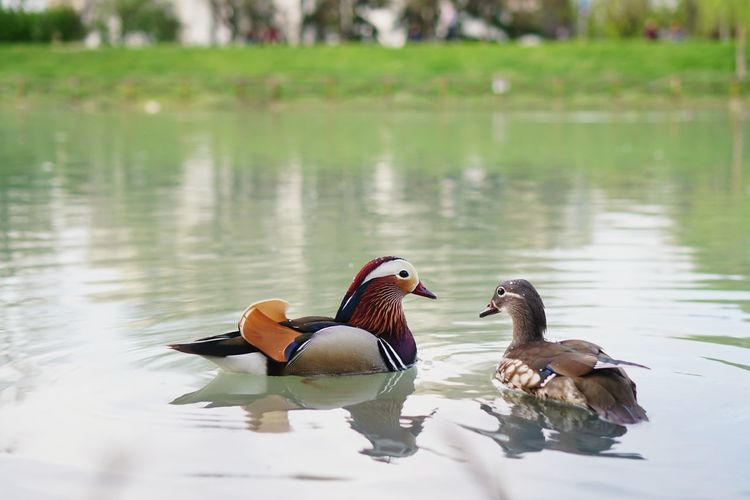 Bird Water Swimming Mandarin Duck Lake Togetherness Duck Female Animal Water Bird Male Animal Flapping Spread Wings Animal Crest Pelican Mallard Duck Duckling Animals Mating Animal Wing Mating Young Bird Gosling Flight Black-headed Gull Moose Peacock Rooster Seagull Hummingbird