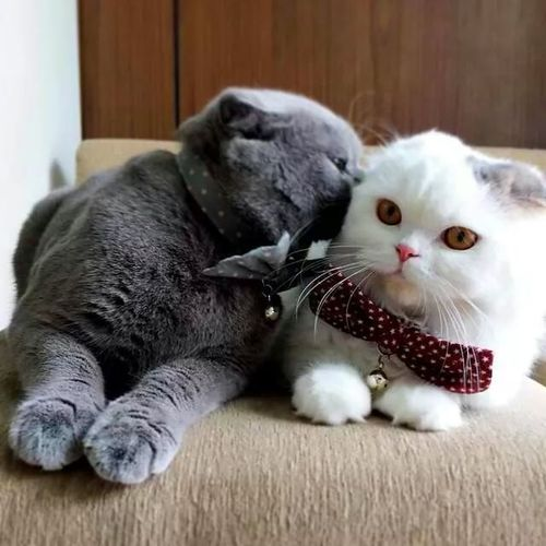 Cat Scottish Fold Kitten Cat Couple Adorable