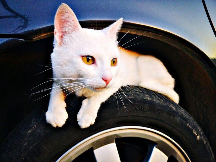 Cat Wheel Car