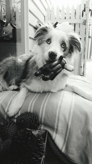 First Eyeem Photo Dog Androidography Bordercollie  Blackandwhite Samsungphotography Jasper Mypuppy