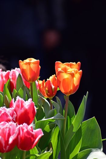 Flowers,Plants & Garden Flowers Orange Tulip Orange Flower Tulip Orange Tulip Tulips Tulips Flower Flowering Plant Freshness Beauty In Nature Plant Petal Fragility Vulnerability  Growth Close-up Inflorescence Nature No People Flower Head Plant Part Focus On Foreground Orange Color Red Leaf Outdoors