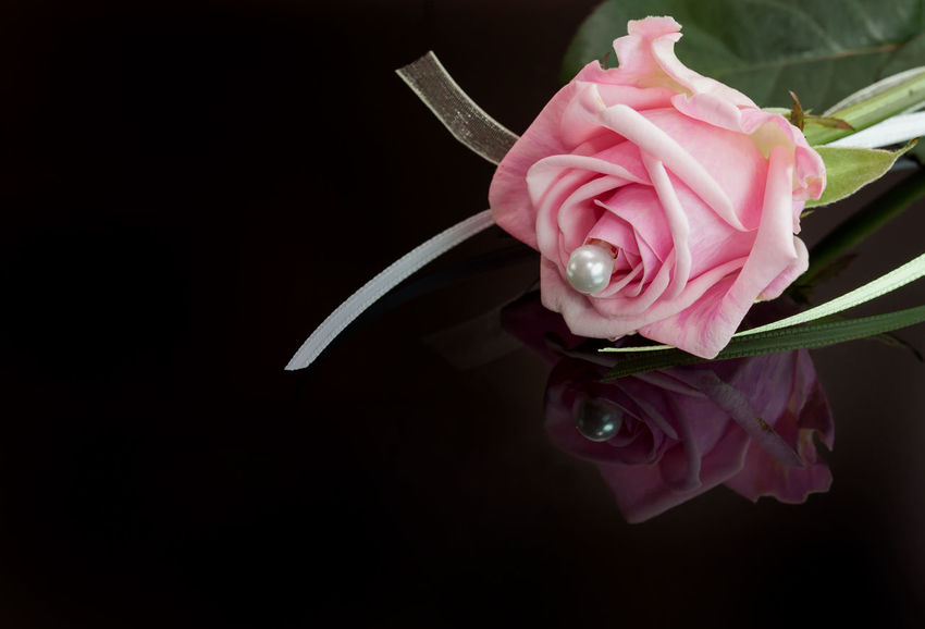 A pink beauty - pink rose with reflection on black background Black Background Close-up Flower Flower Head Fragility Freshness Indoors  Liebe Macro_collection Makro Nature No People Rose - Flower Rosen Roses Rose🌹 Studio Shot Valentine Valentine's Day  Valentinstag
