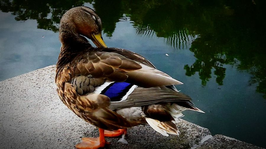 Duck EyeEmNewHere First Eyeem Photo EyeEm Nature Lover Animal Themes Animals In The Wild Ducks At The Lake Smartphonephotography Water Swimming Lake Reflection Close-up Sea Life Muscovy Duck Water Bird My Best Photo