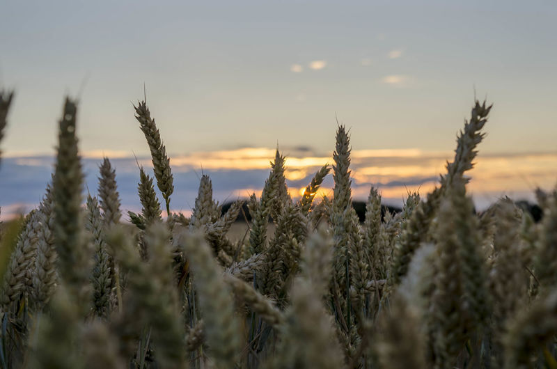 Agriculture Beauty In Nature Cereal Plant Close-up Crop  Farm Field Growth Land Landscape Nature No People Outdoors Plant Rural Scene Scenics - Nature Selective Focus Sky Stalk Sunset Tranquil Scene Tranquility