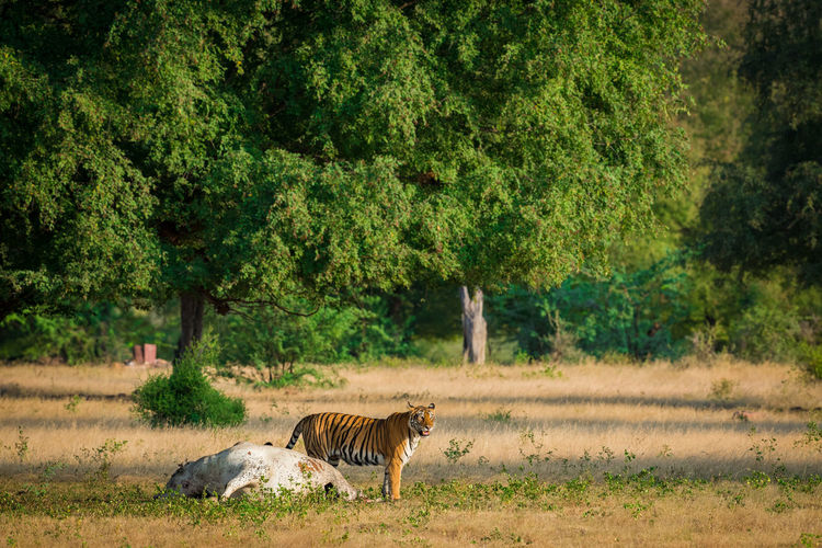Tiger hunting cow in forest