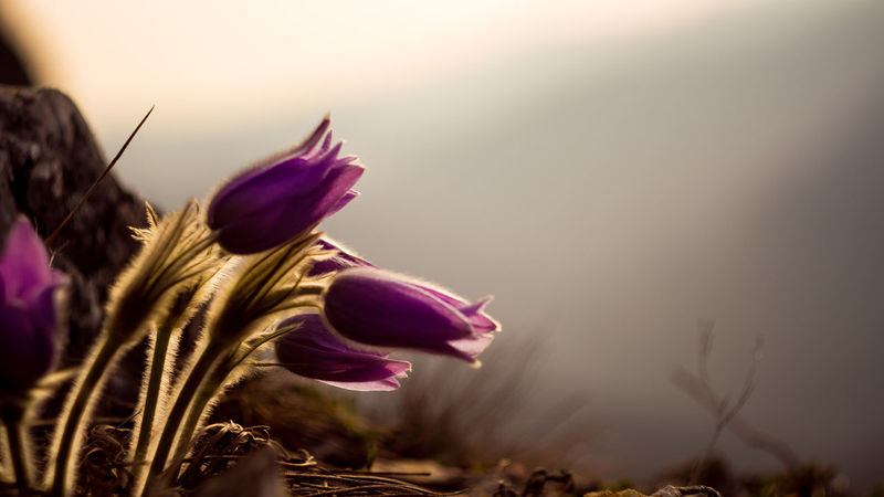 morning lights Beauty In Nature Close-up Crocus Day Flower Flower Head Fragility Freshness Growth Nature No People Outdoors Petal Plant Sky