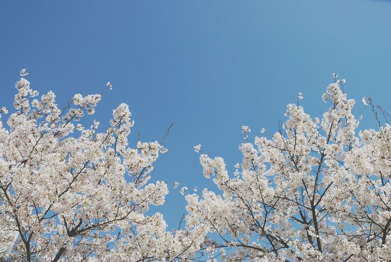 Festival Season Spring Flowers Tree Festival Nature Sky Beauty In NatureTravel Clear Sky No People Improvement Colors Korea Spring 2017 Flower Sky No People, Blue Sky Backgrounds Cherry Blossom Tree Cherry Blossom Forest Sunny