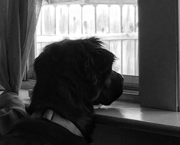 My Dog Blackandwhite Longing To Be Outside Project365 Looking To The Other Side Pets Corner