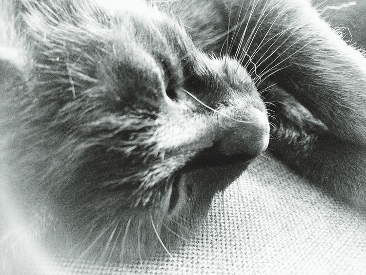Cat Cats Of EyeEm Cat Lovers Cat Nose Cat Nose Macro Indoors  Indoor Eyemcat Eyemmission Pet Portraits