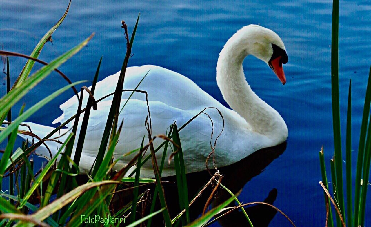 animals in the wild, animal themes, one animal, swan, lake, bird, water, nature, animal wildlife, no people, day, outdoors, swimming, beak, beauty in nature, close-up