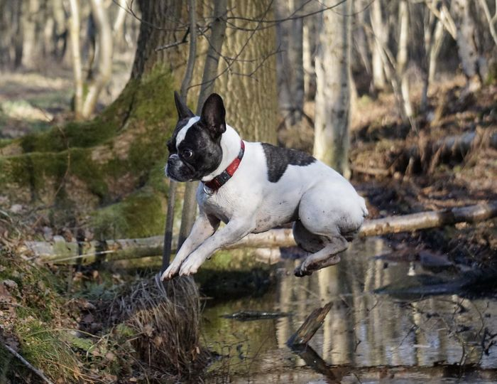 Bulldog Français Bully Cute Dog  Dog Dog In Action Dog Jumping Dog Jumping Over Water Domestic Animals Fliegender Hund Flying Dog Flying Dogs Französische Bulldogge  Frechbulldog French Bulldog Frenchie Hund Hund Im Flug Hund In Aktion Hund Springt über Bach Hund Um Wald Im Wald In The Forest Nature Outdoors Pets