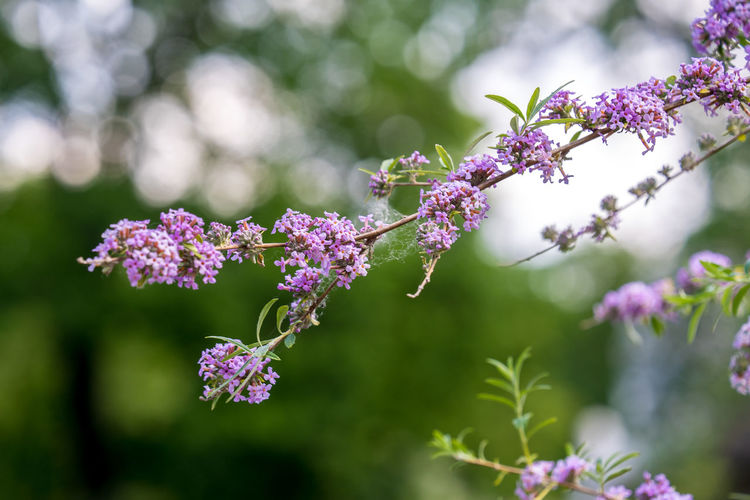 Beauty In Nature Close-up Day Flower Flower Head Flowering Plant Focus On Foreground Fragility Freshness Growth Inflorescence Lilac Nature No People Outdoors Petal Pink Color Plant Purple Selective Focus Vulnerability