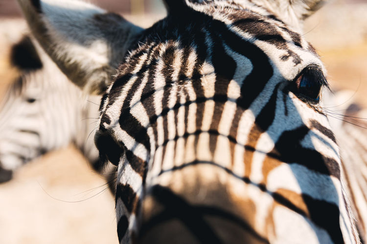 African zebra poking its head through a zoo fence.