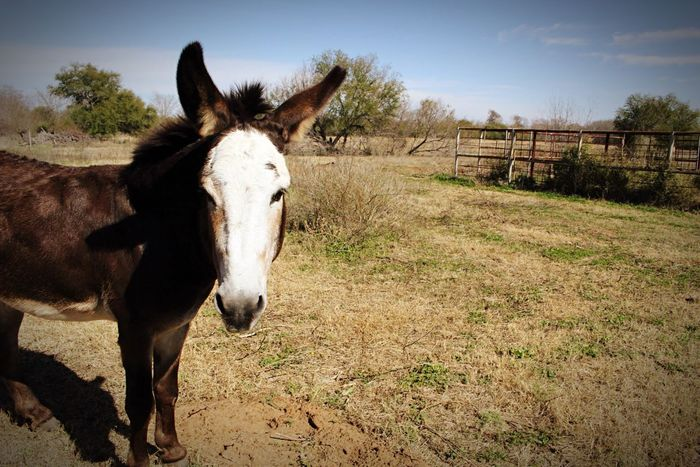 Charlie The Donkey Donkey Countryside