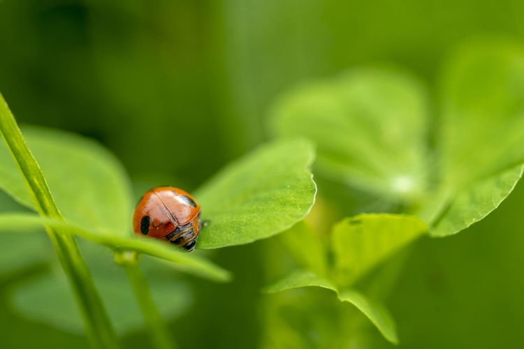 Ladybird perched on clover in the field shortly after the rain. Ladybug is a symbol of luck and happiness. Nature Clover Ladybird Luck Symbol Of Luck