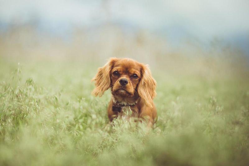 Portrait of brown cavalier king charles spaniel puppy on grassy field
