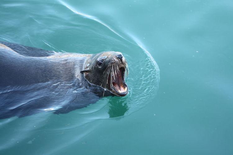 High angle view of seal swimming on lake